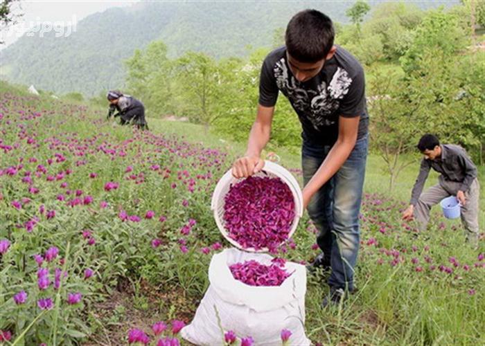 گیاهان دارویی جزو اولویتهای حمایتی ردیف الف صندوق توسعه ملی