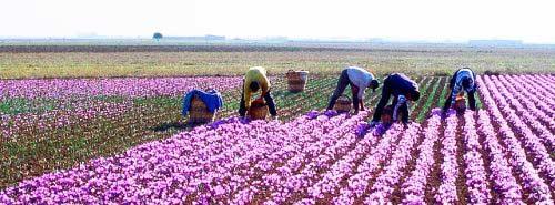 آمار تولید زعفران ایران در سال ۹۴ اعلام شد