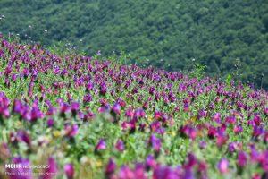 مدیرجهاد کشاورزی: ۶۰۰ هکتار اراضی کاشان به کشت گیاهان دارویی اختصاص دارد.