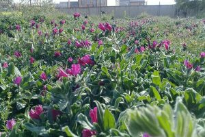 رئیس اداره بهسازی امور تولید ادارهکل عشایر چهارمحال و بختیاری:۲۰۰ تن گیاه دارویی در چهارمحال و بختیاری برداشت شد