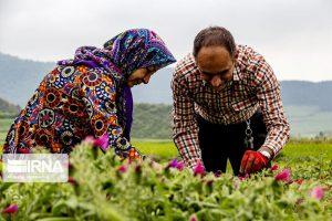 ۱۵۰۰ هکتار از اراضی البرز زیر پوشش گیاهان دارویی قرار می گیرد
