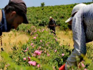 کشت گیاهان دارویی فرصت طلایی سرمایه گذاری در چهارمحال و بختیاری