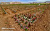 سطح زیر کشت استان چهار محال و بختیاری به ۳۰۰۰ هکتار میرسد.
