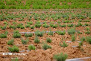 پیش بینی افزایش ۳۰۰ هکتاری سطح زیر کشت گیاهان دارویی در استان مرکزی