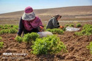 مدیرجهاد کشاورزی دره شهر: ۷۰ هکتار از اراضی کشاورزی دره شهر زیر کشت گیاهان دارویی می رود.