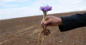 مجری طرح گیاهان دارویی وزارت جهاد کشاورزی:افزایش بهرهوری با استفاده از پیاز زعفران بالاتر از ۸ تا ۱۲ گرم در مزارع