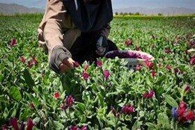 حمایت جهاد کشاورزی لرستان از پرورش ۳۰ نوع گیاه دارویی
