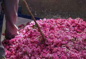 برداشت گل محمدی در یزد نسبت به سال گذشته ۱۵ درصد افزایش یافت.