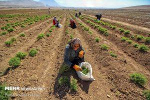 مدیر جهاد کشاورزی شهرستان شهرکرد: اختصاص ۶۳ هکتار از اراضی شهرستان شهرکرد به کشت گیاهان دارویی