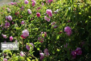 سالانه ۱۸۸ تن گیاه دارویی در بروجرد تولید میشود.