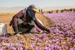 مدیر باغبانی سازمان جهاد کشاورزی اصفهان: ۹ تن زعفران در اصفهان تولید شد.