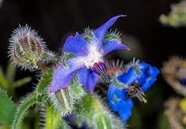 مدیرکل منابع طبیعی لرستان خبر داد؛ برداشت ۱۰ تن گیاه دارویی «علف گاو زبان» از مراتع گرمسیری پلدختر